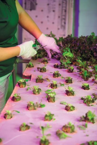 hydroponic crops